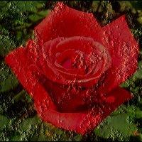 Праздник алой розы :: Нина Корешкова