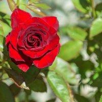 Роза. :: Геннадий Оробей