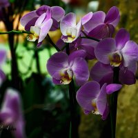 Об орхидеях.... :: Павел Баз