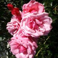Розы :: BoxerMak Mak