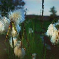 Карельские цветы :: Дарья Михальчик