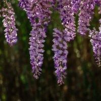Ласково цветёт глициния - Она нежнее инея... :: Shapiro Svetlana