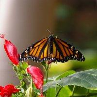 Бабочка :: Konstantine V
