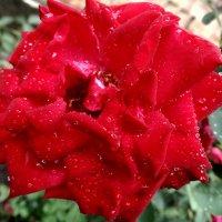 Роза в хрусталиках дождя... :: Тамара (st.tamara)