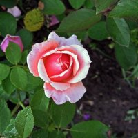 Июльская роза :: muh5257