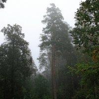 Туман  в соснах.... :: Валерия  Полещикова