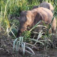 Сандакан. Путешествие по реке Кинабатанган. Слон-пигмей (фото сына) :: Елена Павлова (Смолова)