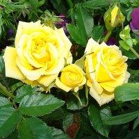 Роза :: laana laadas