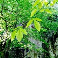 Молодая листва. :: Жемчужникова Марина