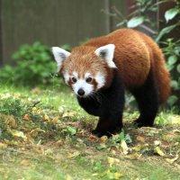 малая панда :: Alexander