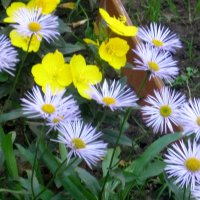 Лютики цветочки... :: Елена Семигина