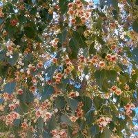Цветет брахихитон :: Герович Лилия