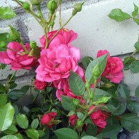 Роза розовая роза :: laana laadas