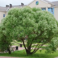 Городское дерево :: Александр Фищев