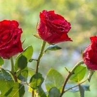 Розы в утреннем солнце за окном :: Леонид Никитин