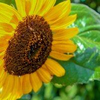 Солнечный цветок :: Екатерина Бильдер