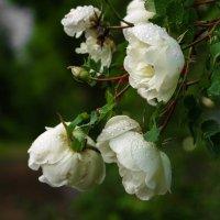 Розы :: Рома Григорьев