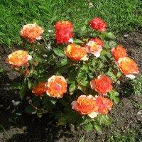 Кустик мини розы :: laana laadas