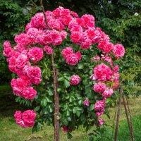 « ..Был розовый куст упоительно густ – Был гуще, чем горе иль счастье. ..» :: Андрей Нибылица
