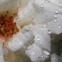 Rose :: Gulrukh Zubaydullaeva
