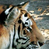 Амурский тигр :: Lady Etoile