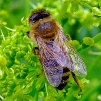 Пчела :: Валерий Судачок