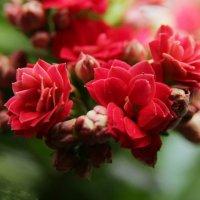Каланхоэ цветет :: Damir Si