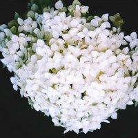 Снежный цветок :: Zifa Dimitrieva