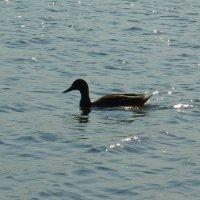 Утка на озере :: Андрей Мышко