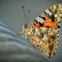 Бабочка :: Евгений