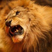 Рычащий лев :: Dmytro Aliokhin