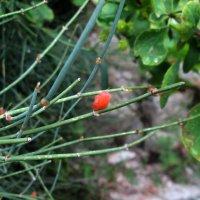 красная ягода :: оленька вяткина