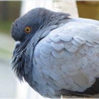 Одинокий голубь на карнизе за окном... :: Ольга Кондратова