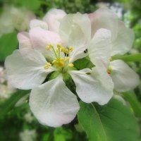 Цветок яблони :: Сергей Карачин