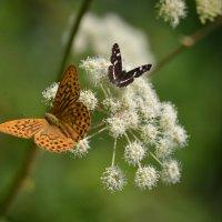 бабочки :: Сергей Жарков