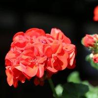 Цветочный хоровод-383. :: Руслан Грицунь