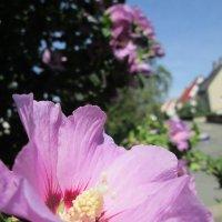 Пора цветения Гибискуса... :: Yelena Sievers