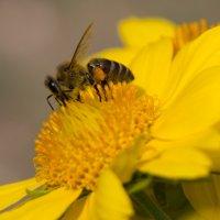пчелка :: Дина Горбачева