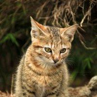 Котенок с острова Маврикий :: DimCo ©