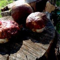 Белые грибы :: Алла ZALLA