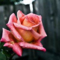 Роза :: Наталья Шелыганова