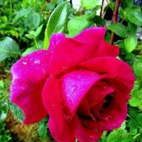 Роза под дождем :: Сергей Карачин