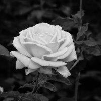 « А  белой  розы   красота, Чарует  дивной  чистотой…» :: Андрей Нибылица
