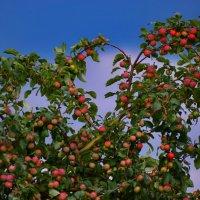 Райские яблочки в саду :: galina tihonova