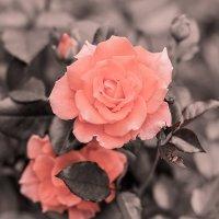 роза :: Ольга