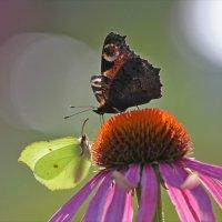 Эхинацея и бабочки :: Анатолий Мартынов