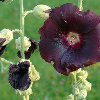 Фиолетовый бордовый цветок :: Алла