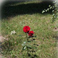 Просто розы. :: Сергей Касимов