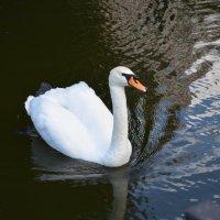 Лебедь в городском парке :: Наталья