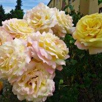 Тихий август. Полыхают розы.... :: Galina Dzubina